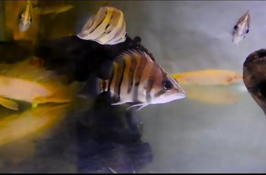 Rezeki untuk Mancing Mania, Tiger Fish Laku Jutaan Rupiah