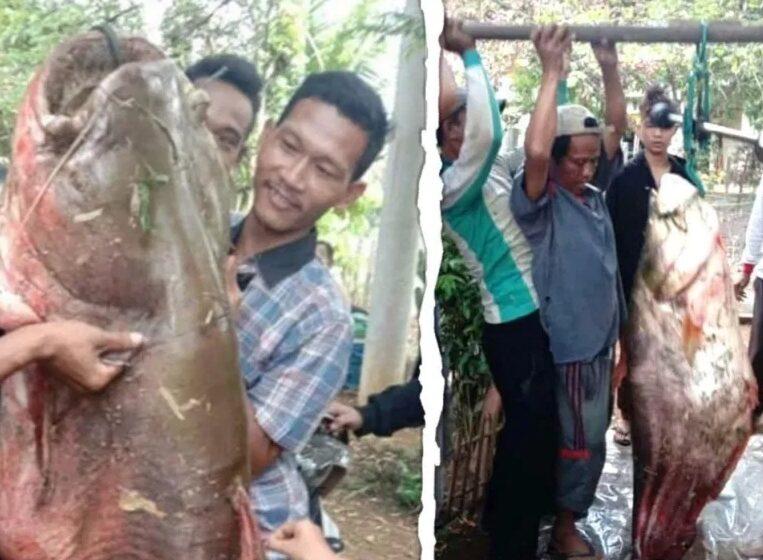 Mantap, Ikan Tapah 60 Kg Ditangkap Mancing Mania